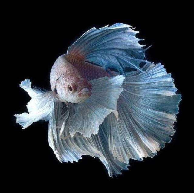 Gambar Ikan Laga