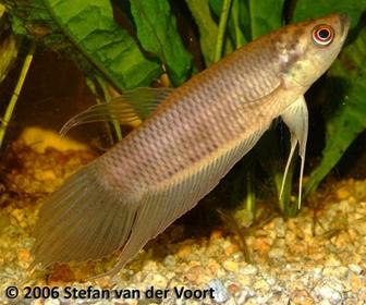 Jenis Ikan Cupang Spesies Betta Renata