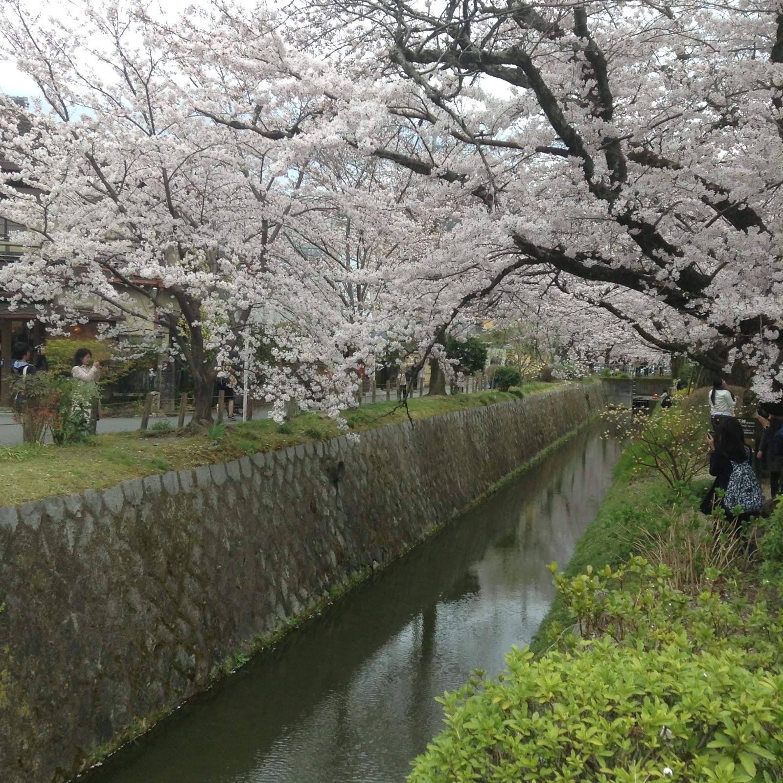 Philosophers path sakura Kyoto