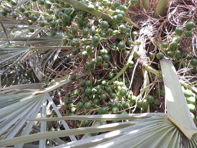 Frutti Trithrinax campestris