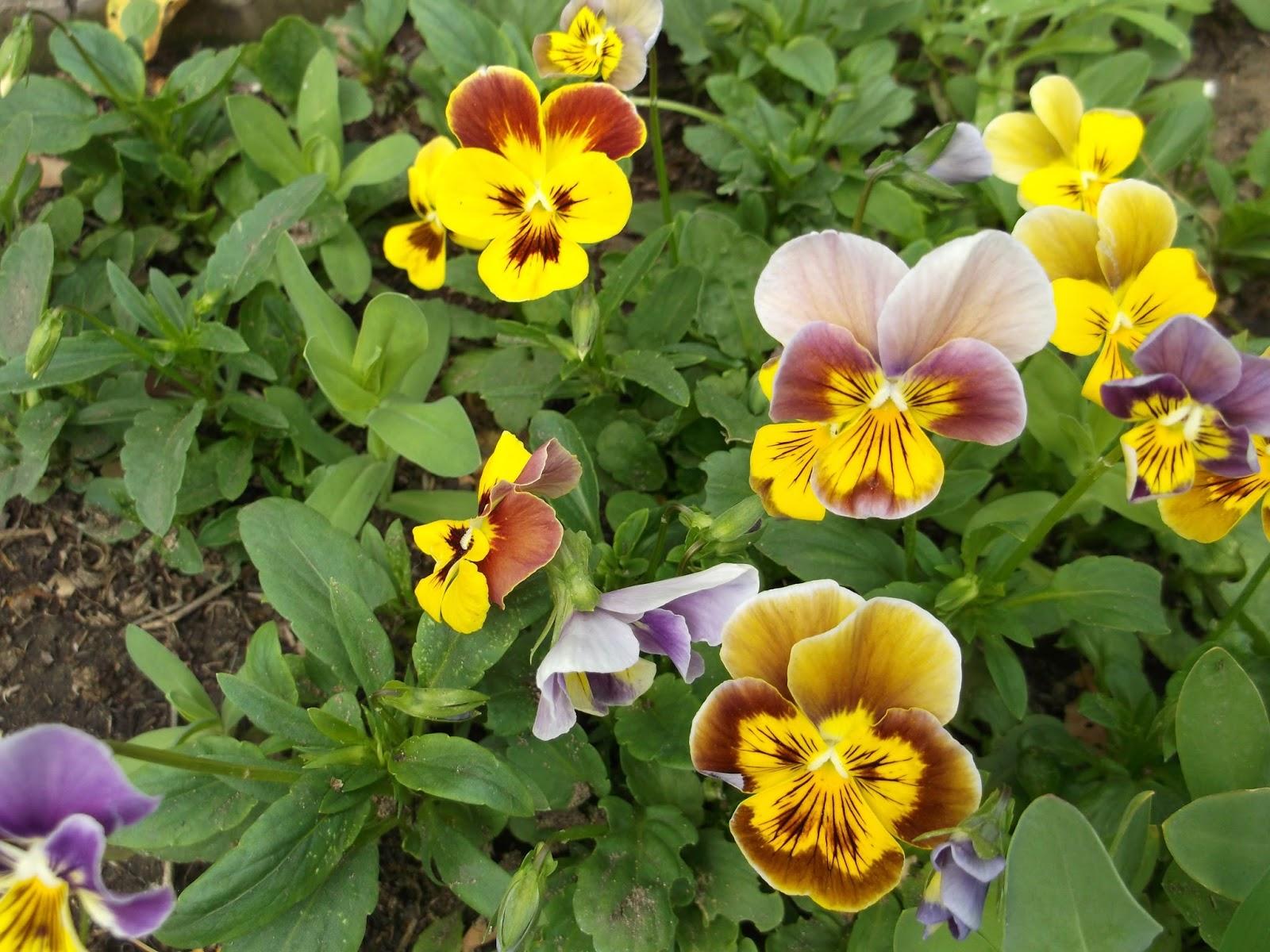 Фото.садовых цветов