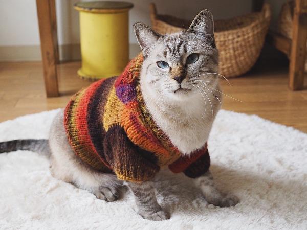 手編みのセーターを着たシャムトラ猫