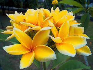 tanaman hias pohon kamboja kuning