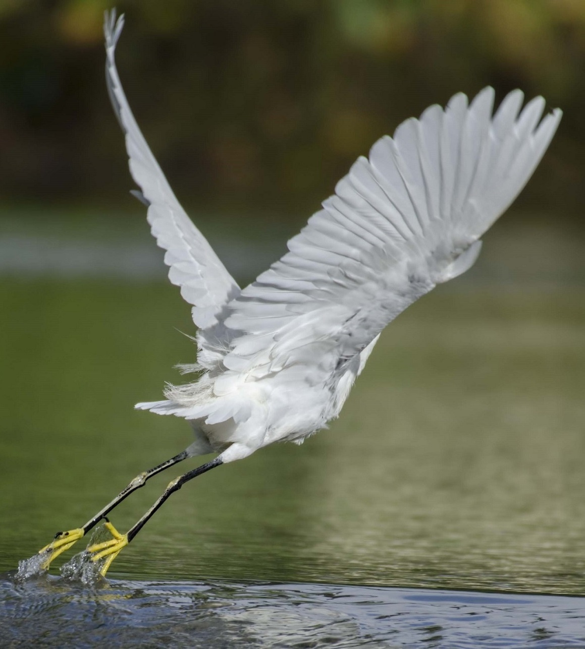 Picture of a snowy egret take off.