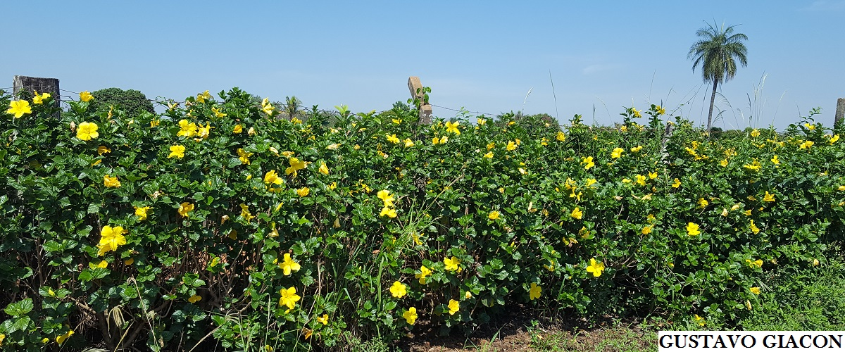 Viveiro ciprest plantas nativas e ex ticas hibisco for Cerca b b