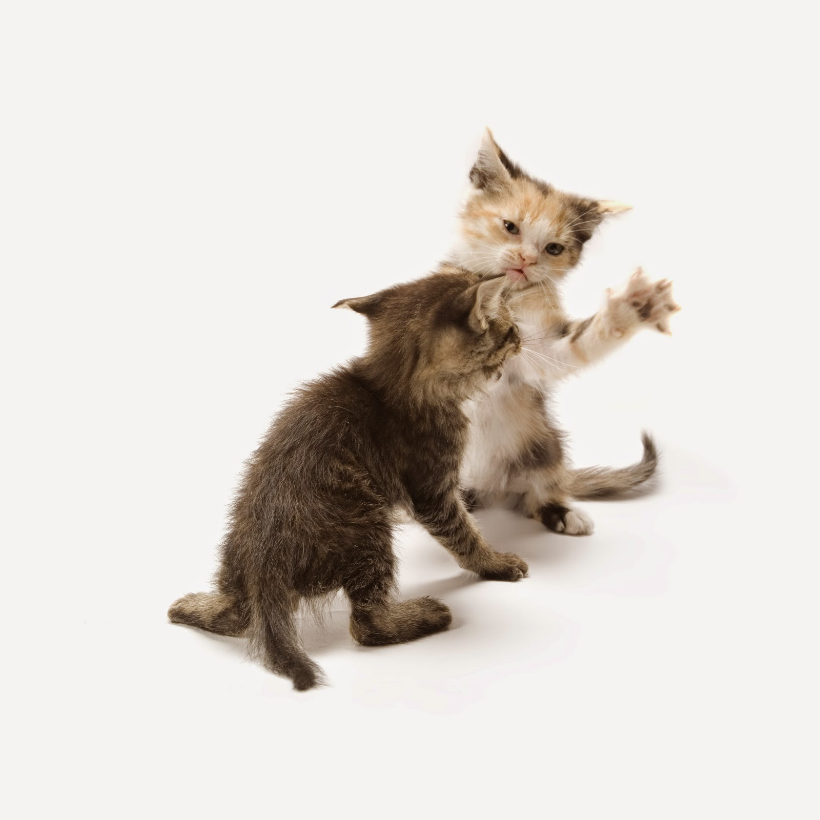 Kittens fighting