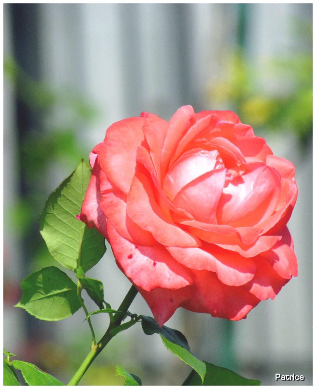 Blog Photos de Patrice: Roses et fleurs divers du jardin ...