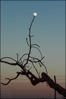 fotografia,luna,limites,arte,higuera,ramas,arbol