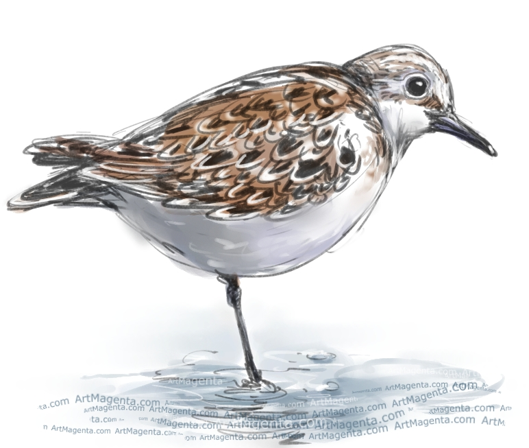 Little Stint sketch painting. Bird art drawing by illustrator Artmagenta