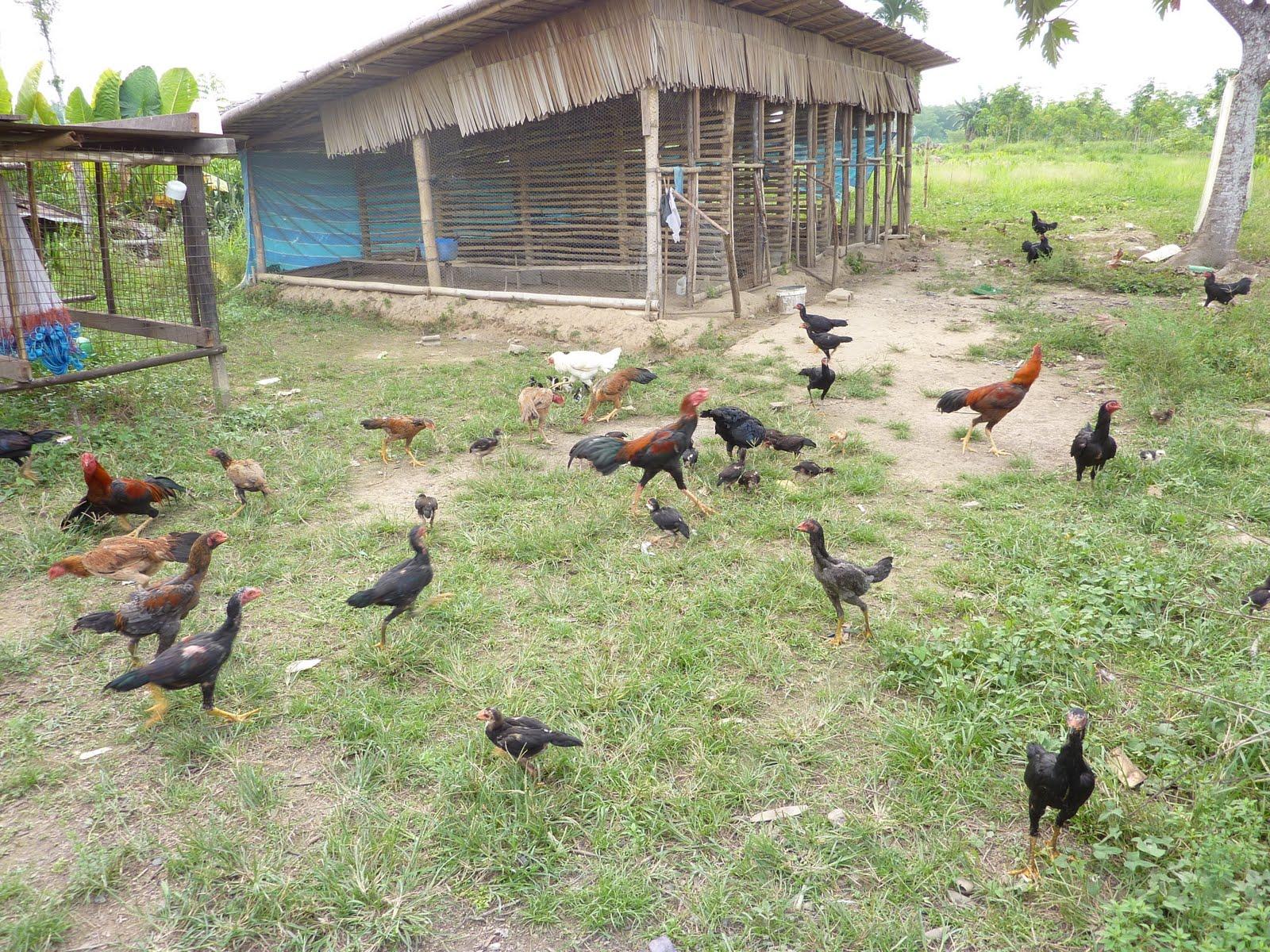 Membuat Kandang Ayam Kampung Sistem Umbaran - Bisnis Ayam ...