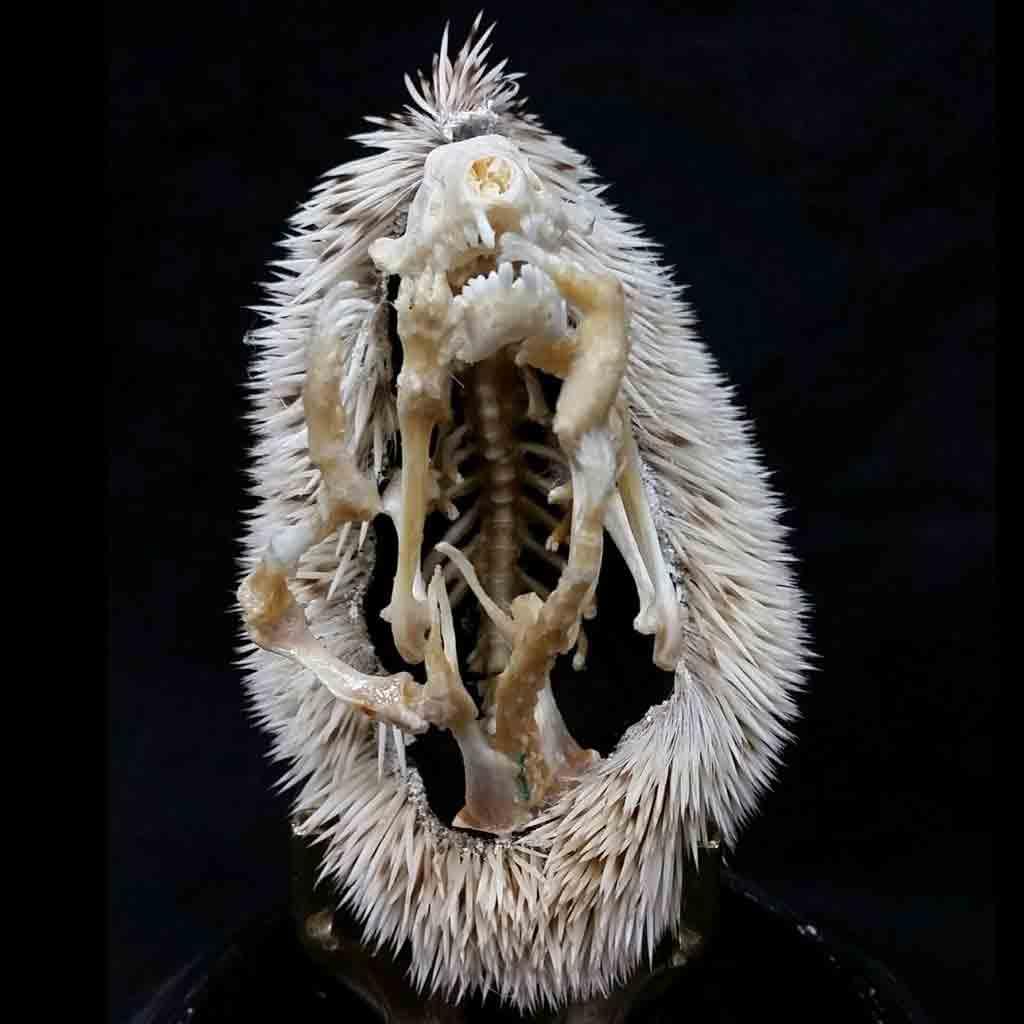 Columna, costillas, cola, extremidades, cráneo y púas del esqueleto del erizo de tierra