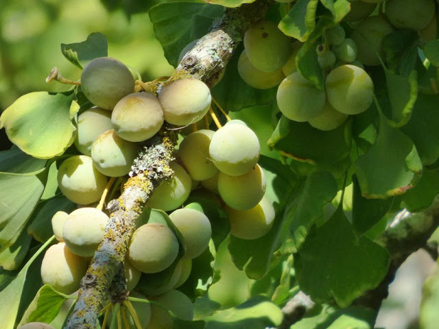 BẠCH QUẢ - Ginkgo biloba - Nguyên liệu làm thuốc Chữa Ho Hen