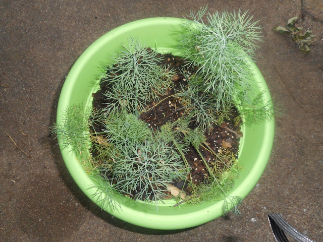 My Dill Plant