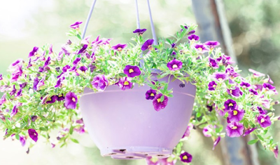 Cara Menanam Bunga Petuina dan Perawatannya