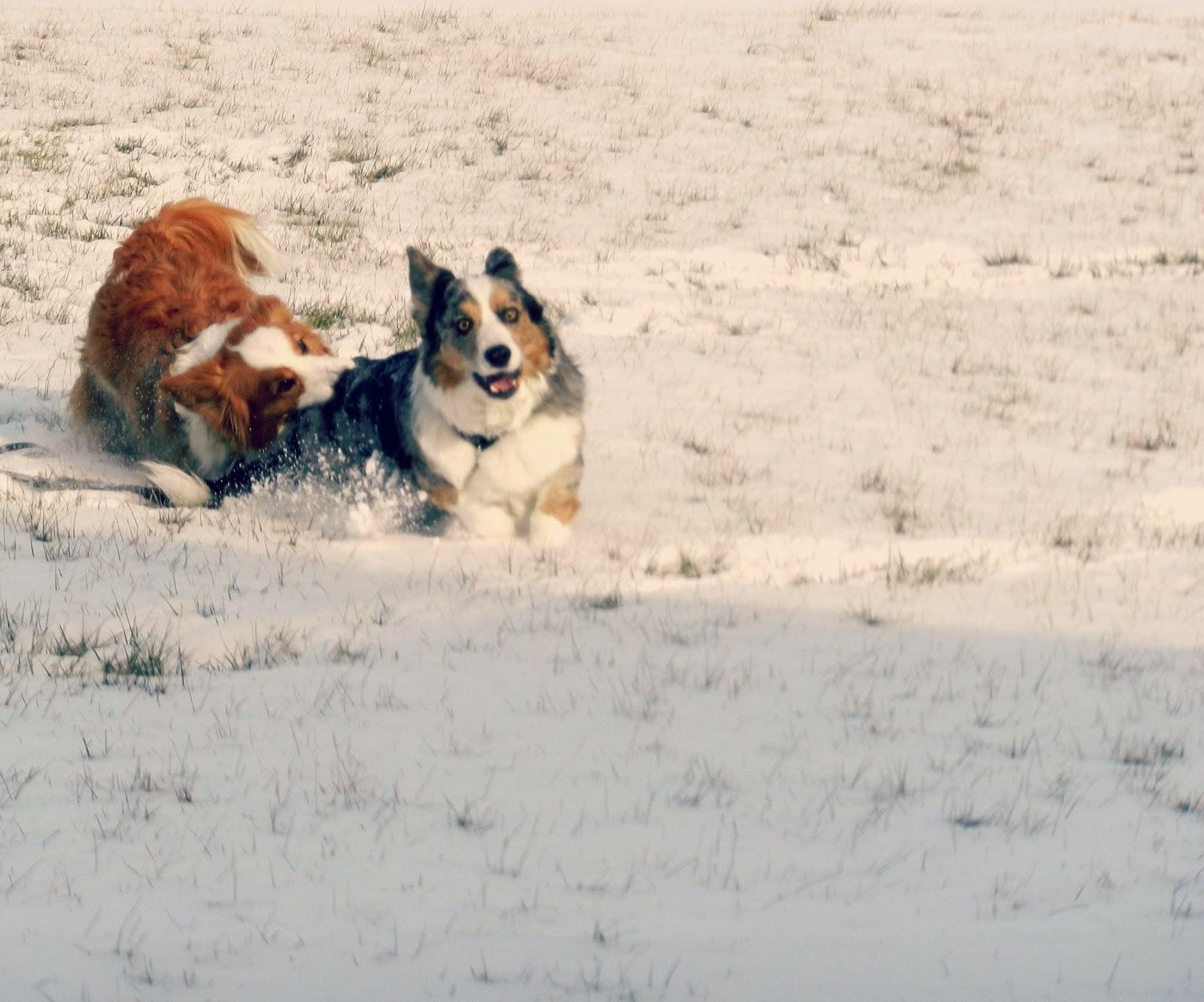 Snow Dogs Bite Ear Scene