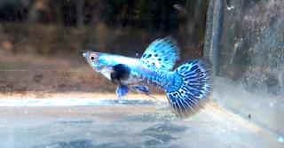 Harga ikan Guppy Platinum Blue Diamond