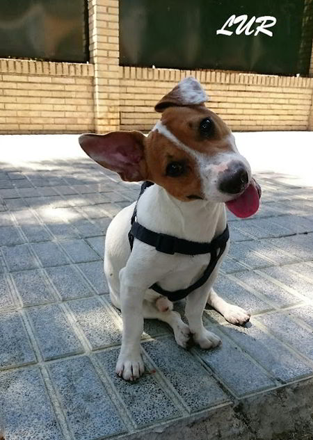 cachorro cruce jack russell
