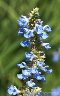 Sauge uligineuse - Sauge des marais - Salvia uliginosa