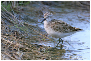 https://bioclicetphotos.blogspot.fr/search/label/B%C3%A9casseau%20minute%20-%20Calidris%20minuta