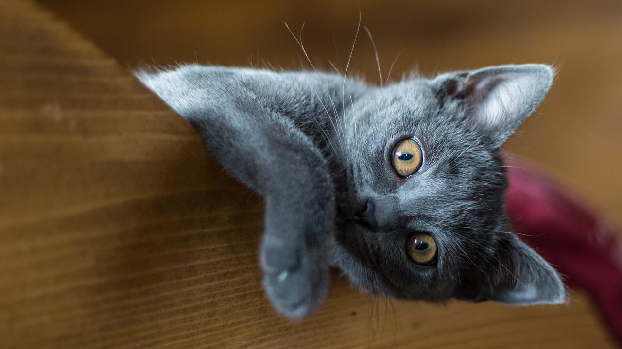 kucing warna kelabu yang sangat comel