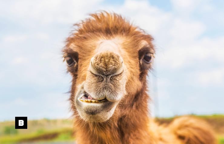 Una mujer mordió los testículos a un camello para salvar su vida