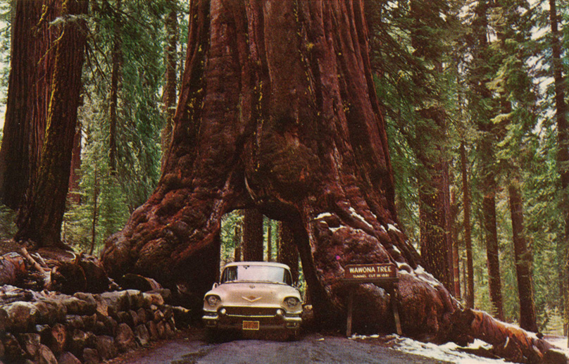 drive through redwood tree yosemite