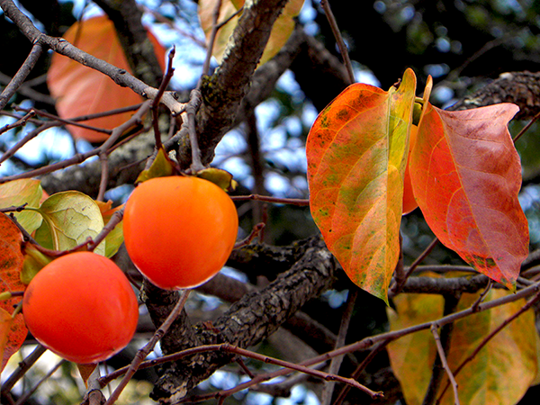 Two ripe persimmons with colorful leaves
