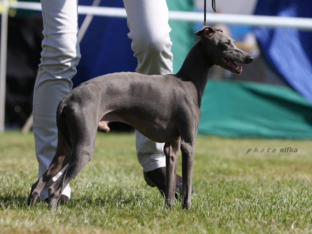stupor mundi fci italian greyhound breeder  piccolo