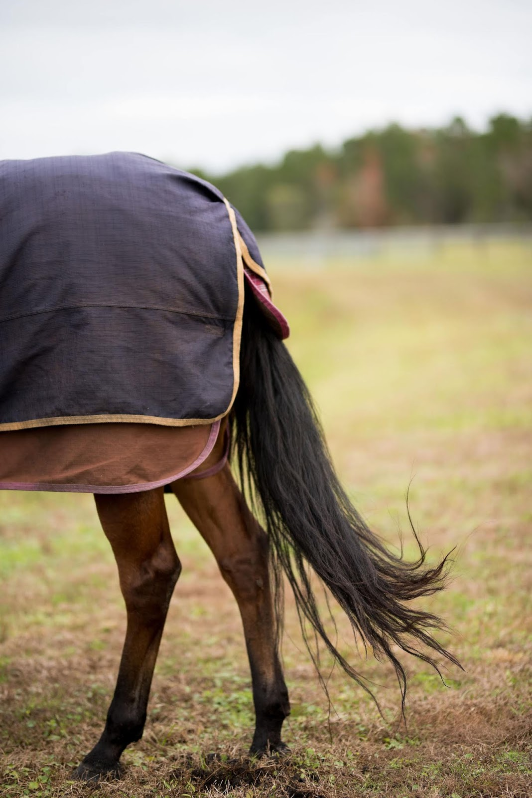 Bay quarter horse wearing sheet and blanket outside at farm in jacksonville or saint augustine florida