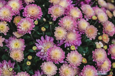 Mums, Chrysanthemum, Floral, Blossom