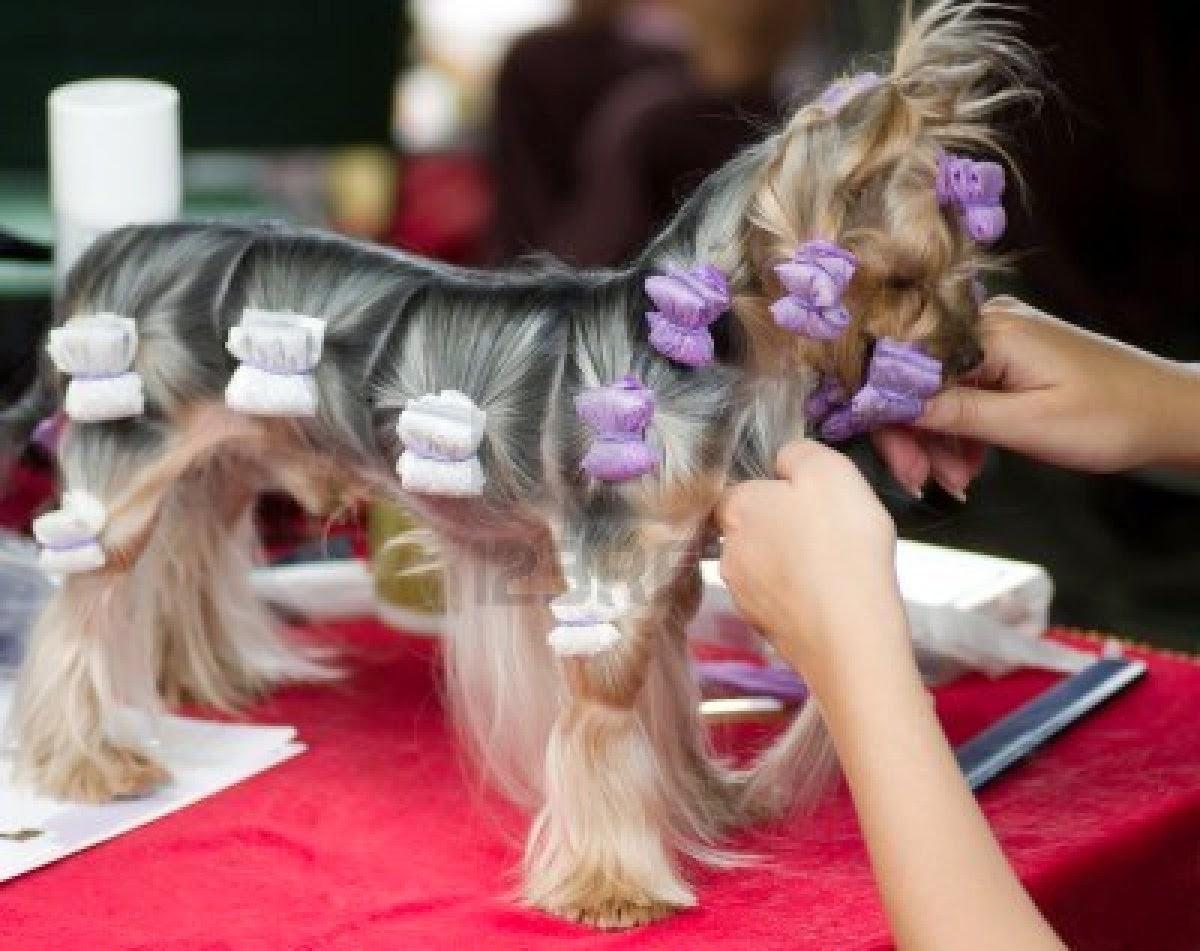 yorkshire terrier   Cuidados del pelo del yorkshire terrier       2bf36dcbe770