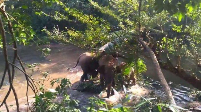 Viral, Begini Cara Induk Gajah Berterima Kasih Pada Warga Yang Telah Selamatkan Anaknya