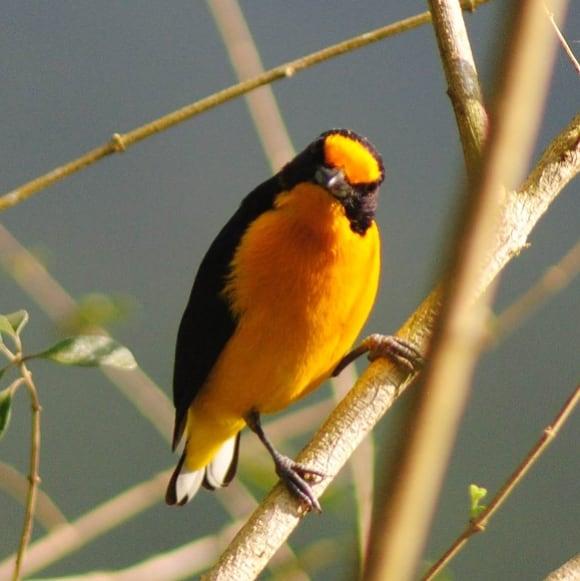 Observação de Aves: Vem Passarinhar em Balneário Piçarras
