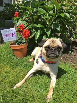 Liam the pug on the grass