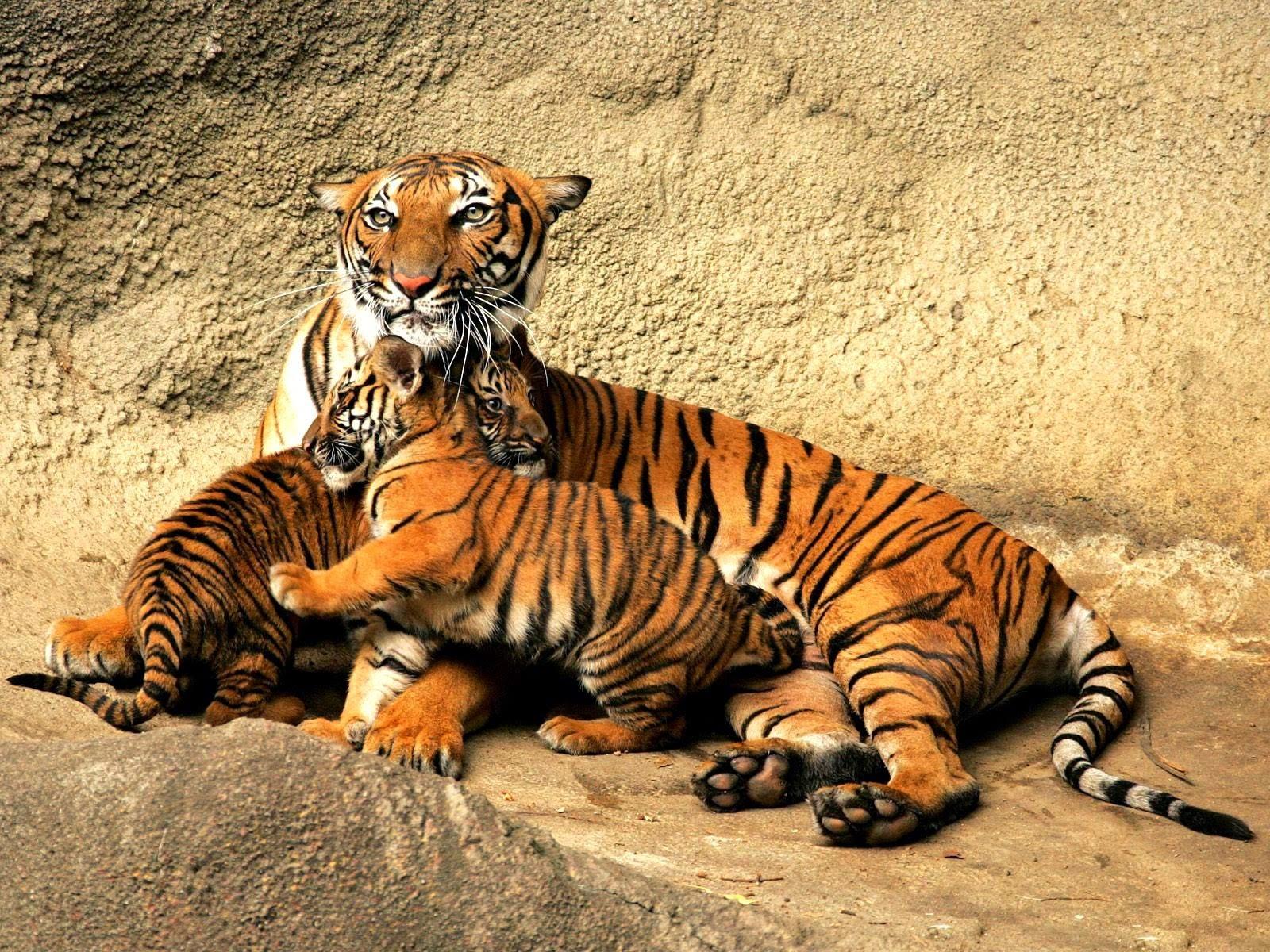 Wallpaper Bengal Tiger Hd Animals 10217: Desktop HD Wallpapers Free Downloads: Bengal Tiger HD