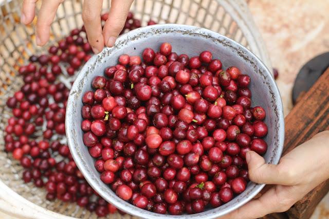 Cà phê chuẩn chín là cà phê được lựa thủ công kỹ càng dành cho chồn ăn