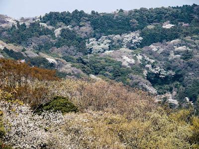 Yama-zakura (Prunus jamasakura) blossoms: Kita-kamakura
