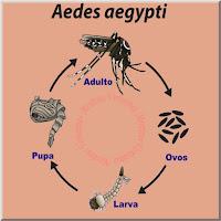 Ilustração mostrando o ciclo de vida do mosquito da dengue Aedes aegypti compreendendo os ovos, as larvas, as pupas e o mosquito adulto.