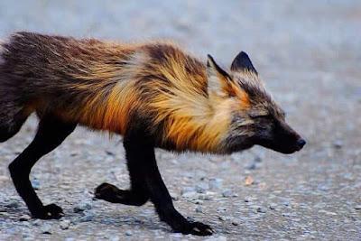 Rubah Silang (Cross Fox), Hewan Rubah, Spesies Hewan Rubah, Tentang Hewan Rubah, Memelihara Hewan Rubah,