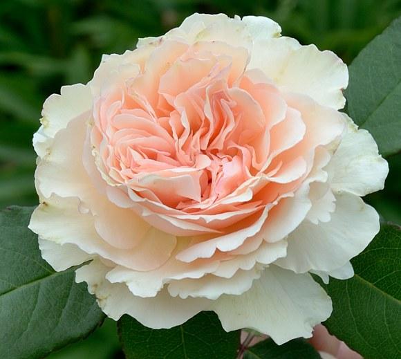 Souvenir de Baden Baden сорт розы Кордес фото купить саженцы Минск