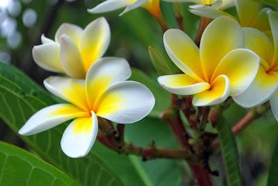 صور ورد وأزهار مميزة Frangipani_flowers.j