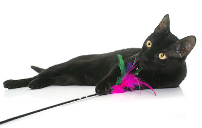 Black Cat playing with a feather toy