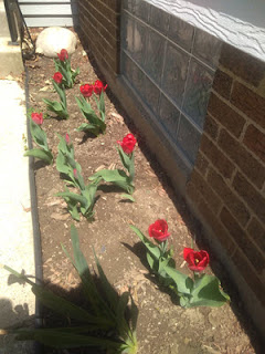 new red tulips