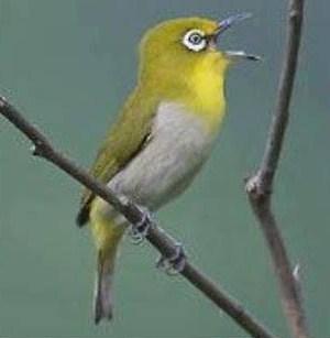 Jenis Dari Burung Pleci Montanus