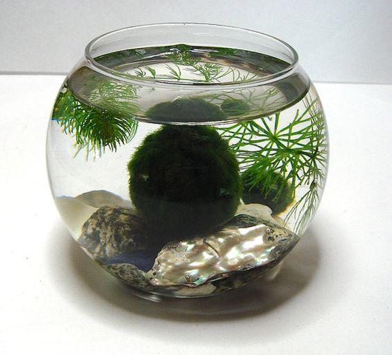 Bạn có thể đơn giản bỏ quả cầu rêu Marimo Moss Ball vào một chậu thủy tinh và chơi