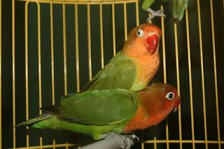 burung lovebird holland, lovebird holland