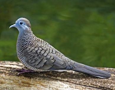 Inilah Perbedaan Burung Perkutut Lokal Dan Bangkok Den Family