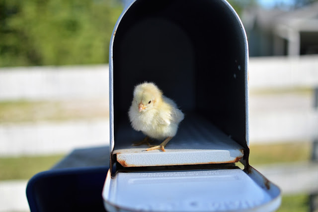 ordering baby chicks by mail