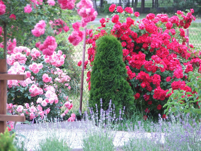 Róże, róże w moim ogrodzie