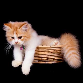 Cara Membersihkan Telinga Kucing Sendiri Dengan Benar